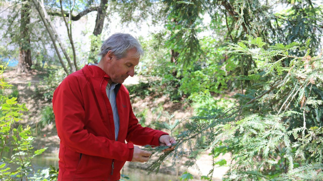 Dr. David Neale examines a coast redwood in the UC Davis Arboretum.
